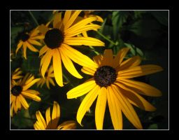 Black Eyed Susans by trevg