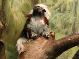 Cotton-Top Tamarin Monkey by FantasyStock