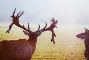the majestic stag and the deer by riskonelook