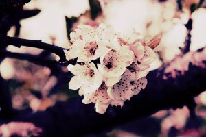 Vintage Blossom by SaltwaterWhale