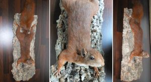 Red Squirrel Lifesize Mount by DeerfishTaxidermy
