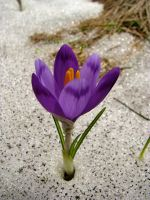 Crocus in Snow by UkoDragon