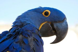7272 - Hyacinth Macaw by Jay-Co