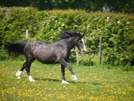 Galloping Wendy by celtes