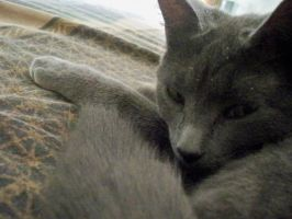 Sleepy Korat by DazinaCramoski