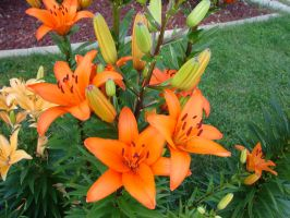 Tiger Lilies 3 by FantasyStock
