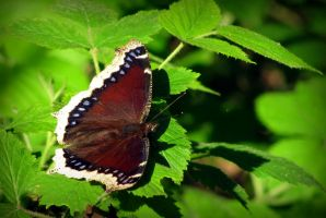 Mourning Cloak by Rissalea