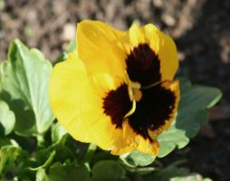 yellow pansy by ingeline-art