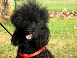 Rockabilly poodle by Gunpowdersmoke