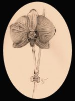 Orchid by tailiana
