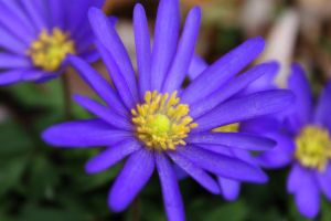 Blue Stars and Yellow Pollen by S-H-Photography