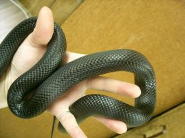 snake 12: black scales by cyborgsuzystock
