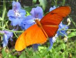 Julia Heliconian Butterfly (Dryas iulia) by ladyoftheshire