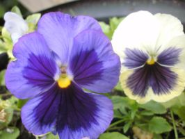 Pansie 2 by Hearts-at-Sea