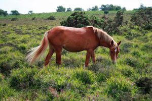 New Forest Pony Grazing by lorni3