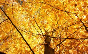 Beech in flames by SilenceOfNature