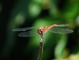 dragonfly by stocksWonderworld