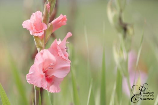 Gladiolus by PassionAndTheCamera