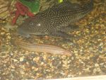 Pleco, Cory Cat, and Weather Loach by DragonHunter42