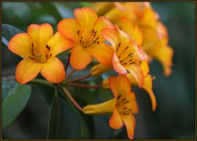 Tropical Vireya Rhododendron by Firey-Sunset