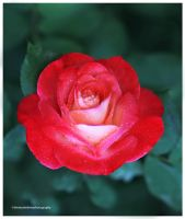Beautiful Rose from My Garden IV by theresahelmer