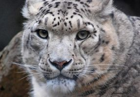 Snow Leopard by DanielleMiner