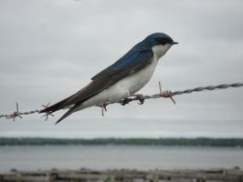 Swallow on barb-wire by lake by KeswickPinhead
