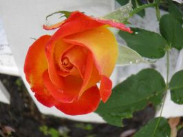 orange and yellow rose by bwall49