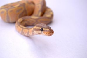 Banana Ball Python 2 by FearBeforeValor