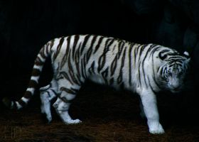 The Other White Tiger by DaytonaBlue64Impala