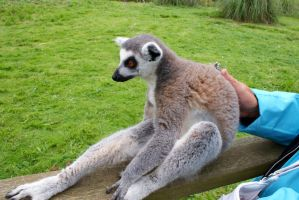 Lounging Lemur by Michelle-xD