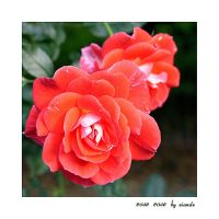 Rose Rose by Eiande