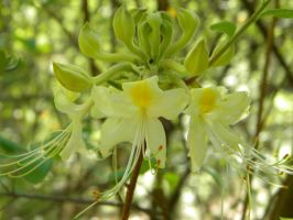 Rhododendron austrinum x alabamense by TheLordTaxus