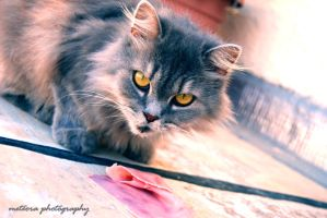 that cat in gray. by almostkilledme