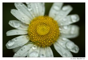Daisy in the Rain by butterfly36rs
