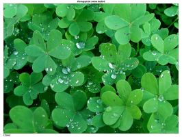 Clover by jaybe