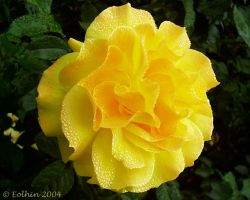Yellow Rose With Dew II 206 by Eolhin