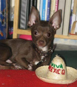 Mexican Chihuahua by antiquesohl