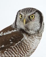 Northern Hawk Owl Portrait by FForns
