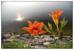 tiger lilly sunshine by jnati