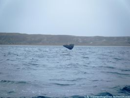 Southern Right Whale - caudal fin by Cansounofargentina