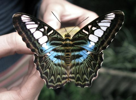Butterfly Blue by DTCT