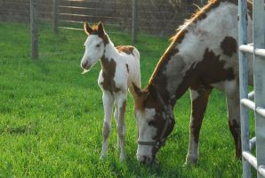 Stock paint horse and foal by elusiveelegance
