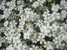 White Flowers by Jay-B-Rich