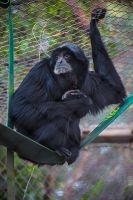 Swinging Siamang by servilonus