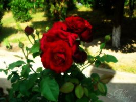 Red Roses by Alllexy