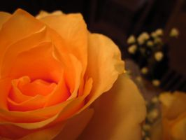 Rose by Nicani