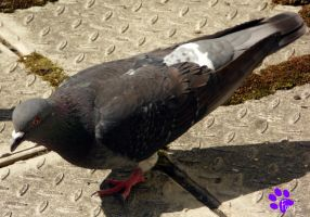 Feral Pigeon 006 (05.06.13) by LacedShadowDiamond