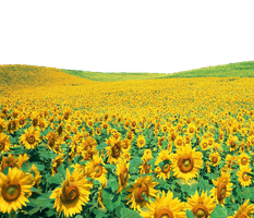 SUNFLOWER PNG TRANSPRENT  IMAGE... USE ANYWHERE by TheArtist100