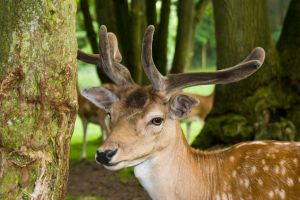 Deer - Hirsch by archaeopteryx-stocks